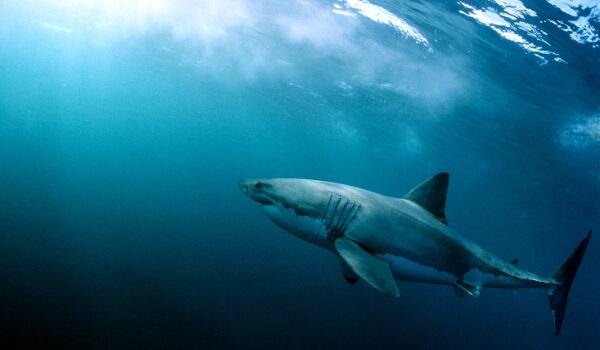 Фото: Самая большая белая акула
