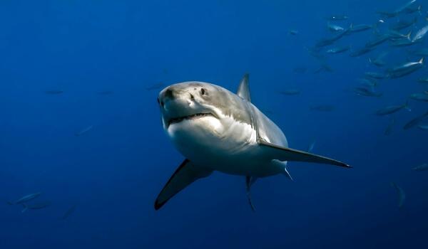 Фото: Большая белая акула