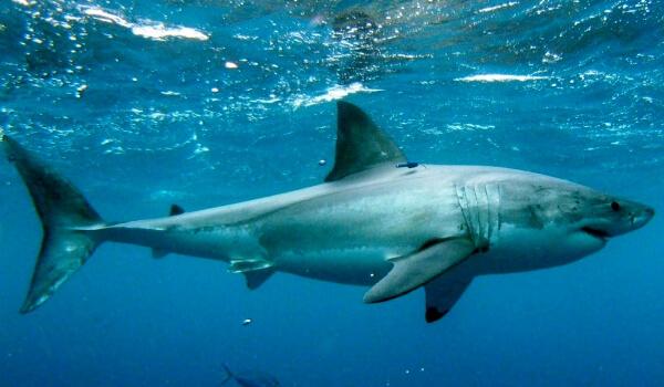 Фото: Белая акула размеры