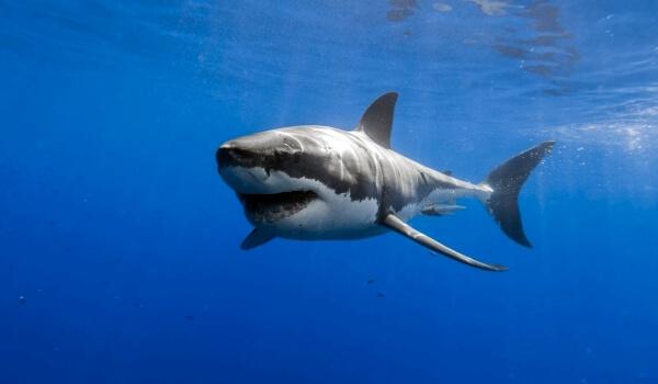 Фото: Белая акула