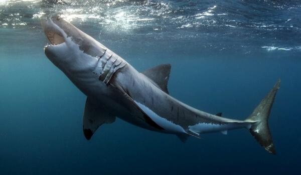 Фото: Пасть белой акулы