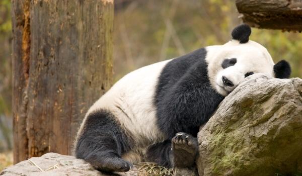 Фото: Большая панда Красная книга