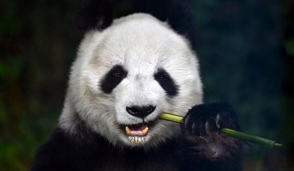 Фото: Большая панда медведь