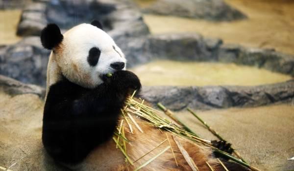 Большая панда Красная книга