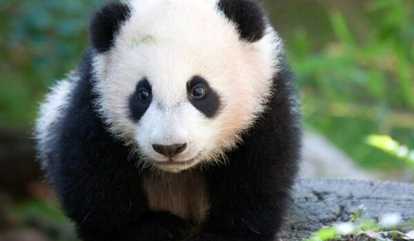 Фото: Животное большая панда