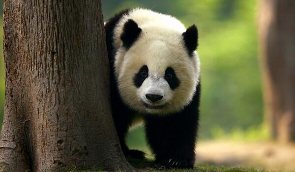 Фото: Большая белая панда
