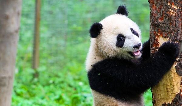 Фото: Большая панда