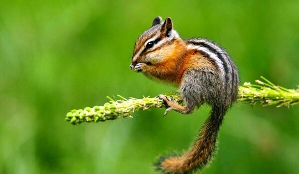 Фото: Животное бурундук