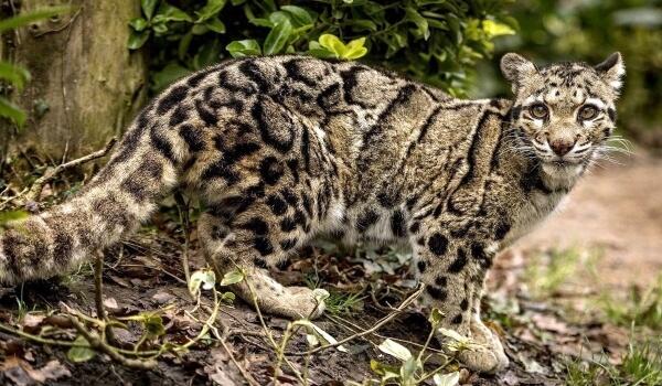 Фото: Дымчатый леопард Красная книга