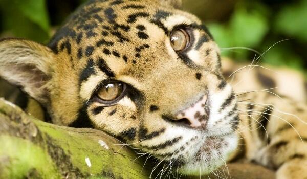 Фото: Животное дымчатый леопард