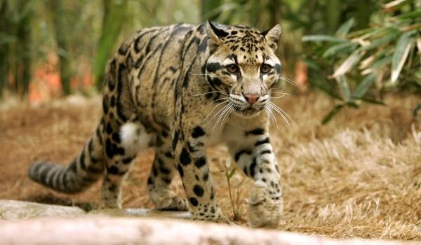 Фото: Дымчатый леопард