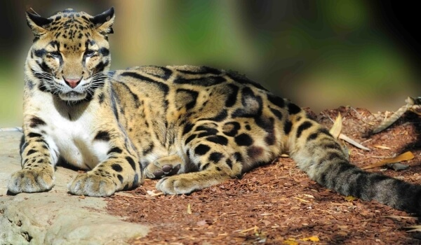 Фото: Тайваньский дымчатый леопард