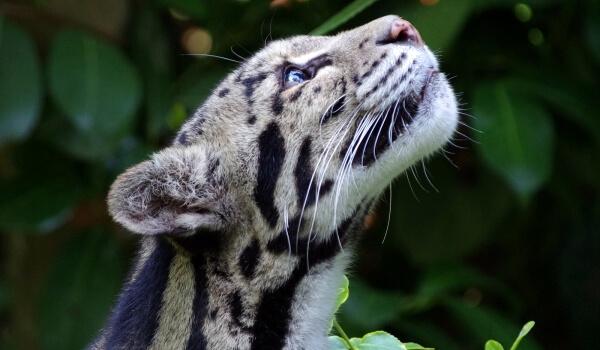 Фото: Детеныш дымчатого леопарда