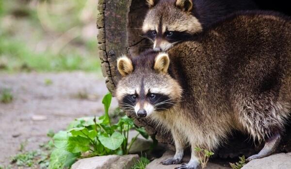 Фото: Животное енот полоскун