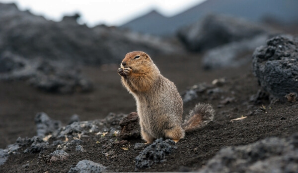 Фото: Евражка животное