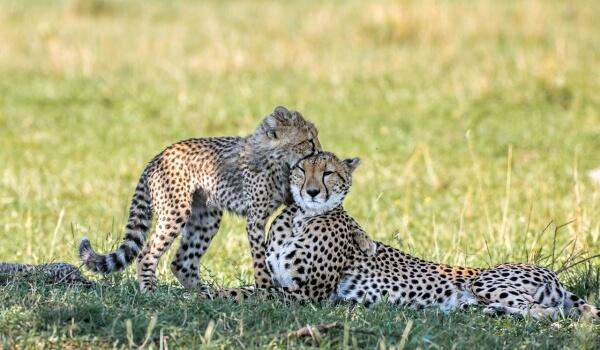 Фото: Котенок гепарда