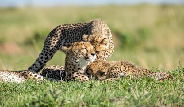 Фото: Гепарды из Красной книги