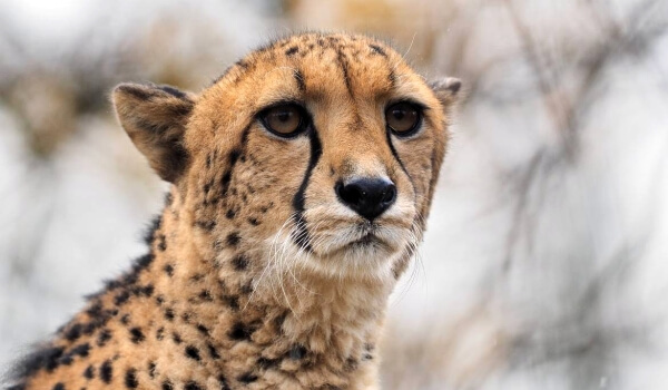 Фото: Кошка гепард