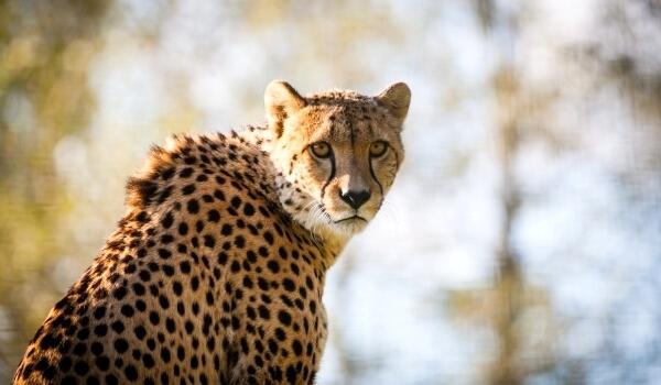 Фото: Животное гепард