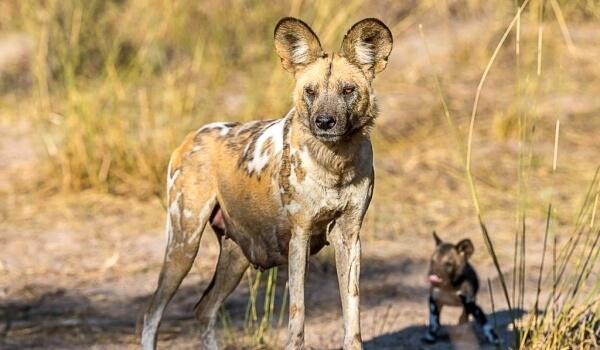Фото: Гиеновая собака Африка