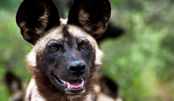 Фото: Гиеновая собака Красная книга