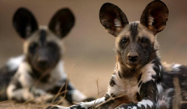 Фото: Африканские гиеновые собаки