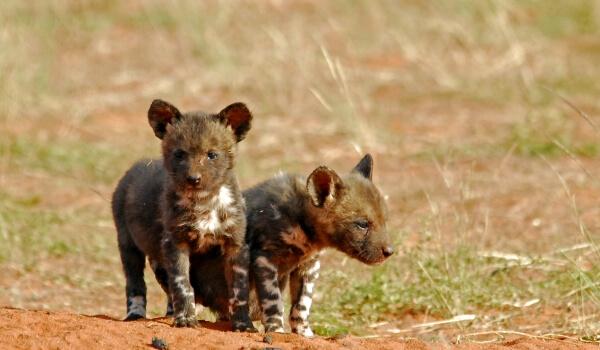 Фото: Детеныши гиеновой собаки
