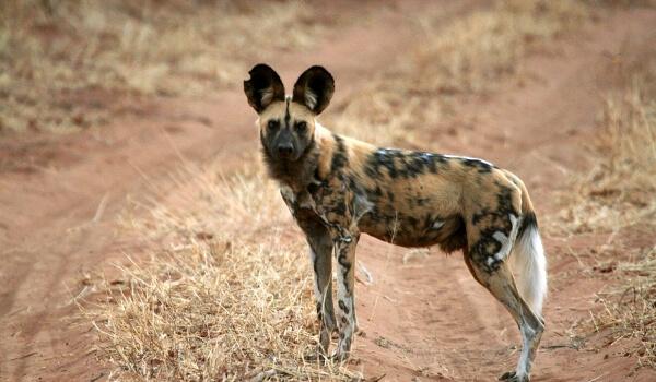 Фото: Животное гиеновая собака