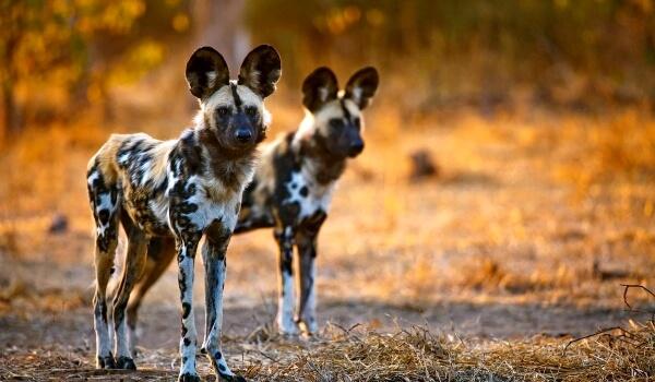 Фото: Гиеновидные собаки