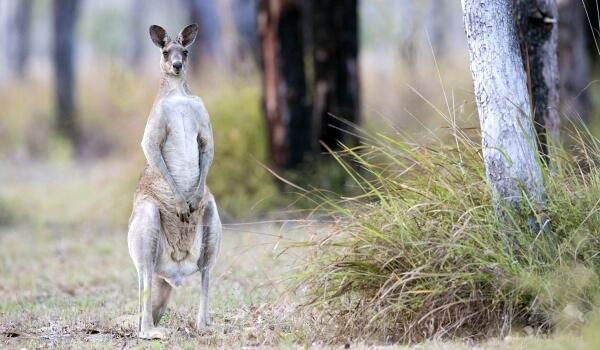 Фото: Животное гигантский кенгуру