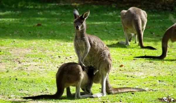 Фото: Серый восточный кенгуру