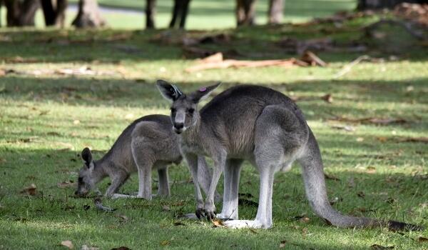Фото: Гигантский кенгуру