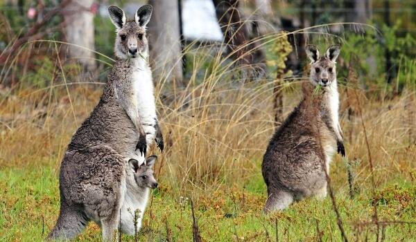 Фото: Гигантские кенгуру в Австралии