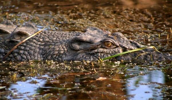 Фото: Гребнистый крокодил