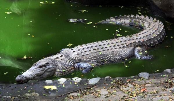 Фото: Гребнистый крокодил в природе
