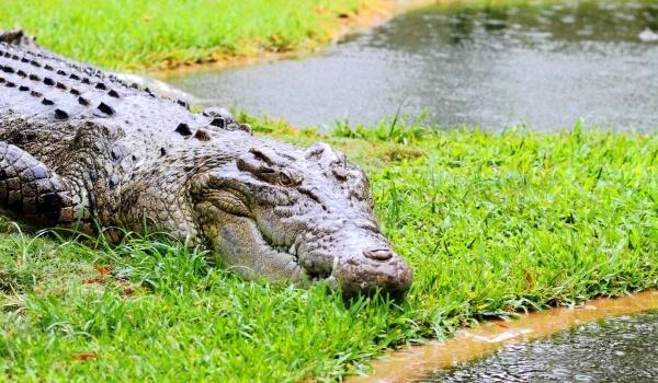 Фото: Гребнистый крокодил из Красной книги
