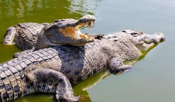 Фото: Большой гребнистый крокодил
