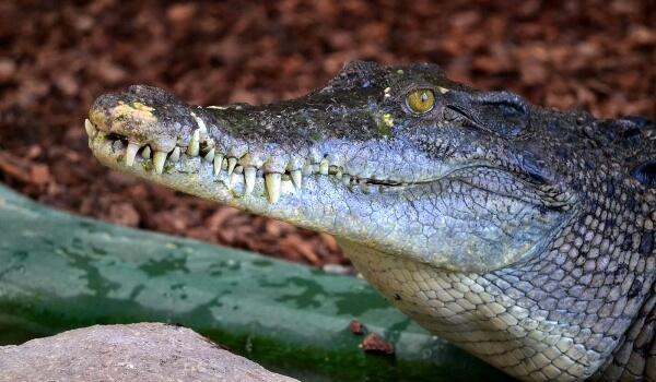 Фото: Гребнистый крокодил Красная книга