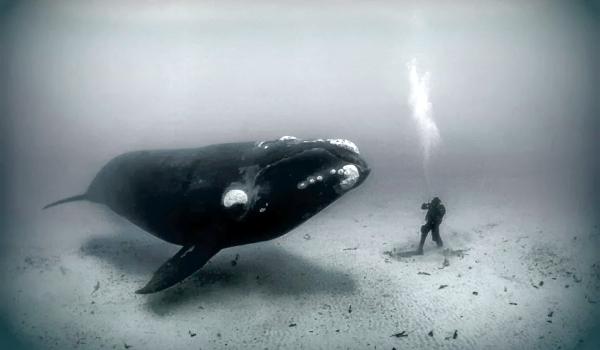 Фото: Гренландский кит