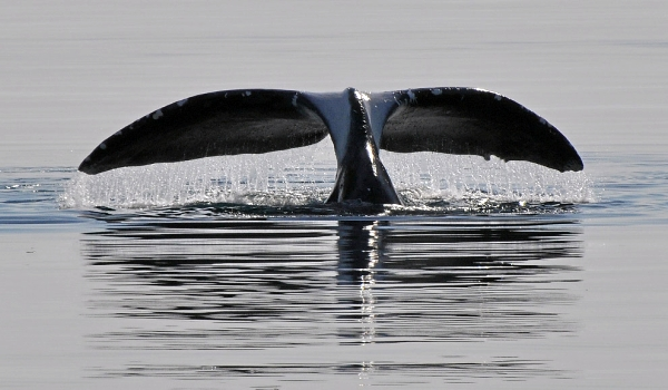 Фото: Гренландский кит из Красной книги