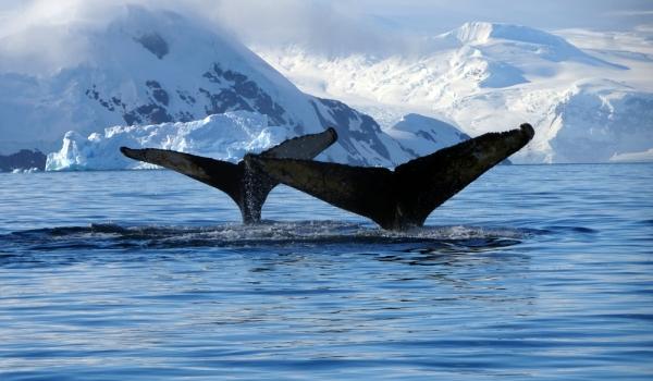 Фото: Полярный гренландский кит