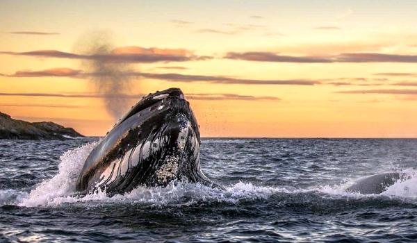 Фото: Гладкий гренландский кит