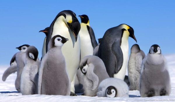 Фото: Императорские пингвины в Антарктиде