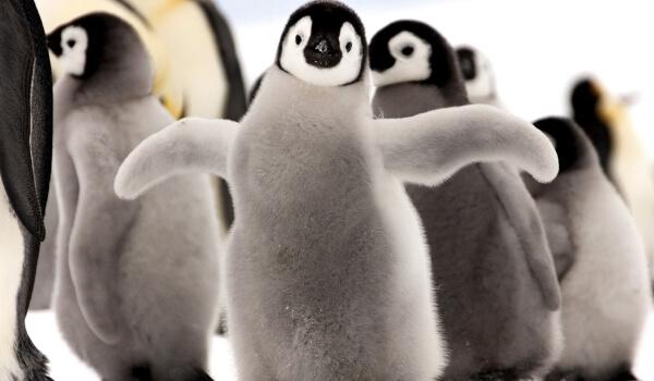 Фото: Птенец императорского пингвина