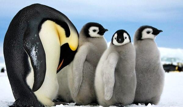 Фото: Самка императорского пингвина