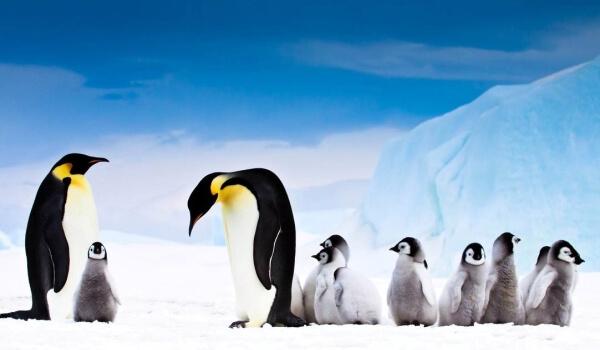 Фото: Императорский пингвин