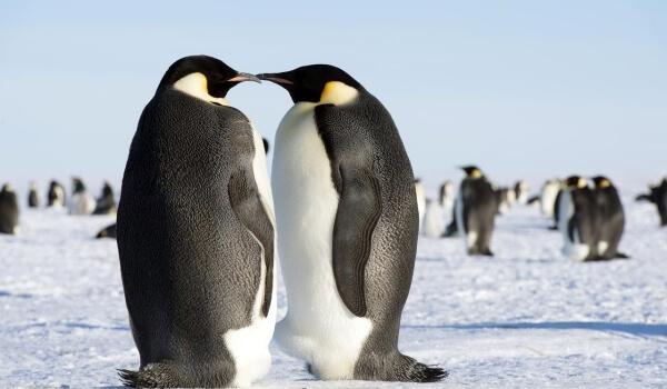 Фото: Птица императорский пингвин