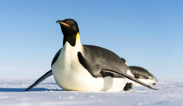 Фото: Императорский пингвин Антарктида