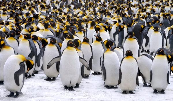 Фото: Императорский пингвин из Красной книги