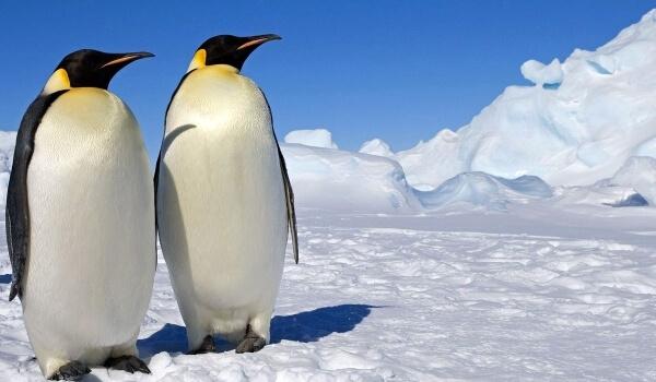 Фото: Императорский пингвин Красная книга